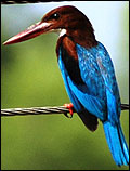West Bengal State Bird  White-throated Kingfisher